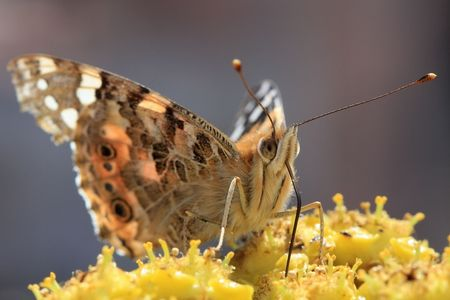 sipping: photo butterfly sipping nectar from flowers