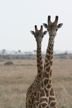 vigilant: picture of giraffes in Masai Mara, Kenya