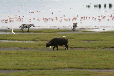 nakuru:   photograph of zebras and buffaloes at the shores of Lake Nakuru in Kenya