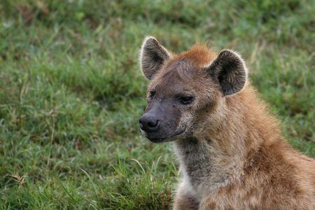 hienas: hiena fotografía en el lago Nakuru, Kenia