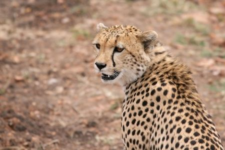 photo of Cheetah in Masai Mara, Kenya Stock Photo - 4893268
