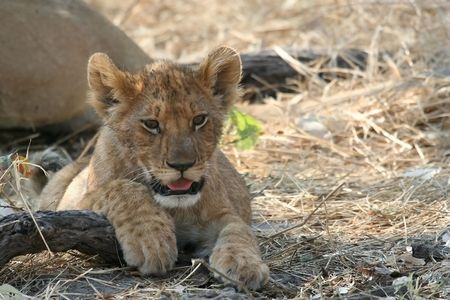 Lion cub in Moremi, Botswana Stock Photo - 4903401