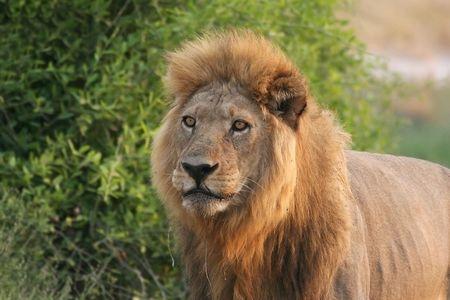 Lion en Moremi, Botswana