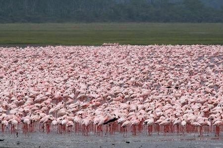 flamingos: flamingos in Lake Nakuru, kenya