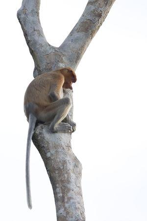 climbed: probosci climbed a tree Stock Photo