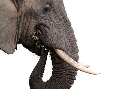 savana: wild African elephant isolated on white background