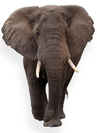 elephant�s: elefante africano salvaje, aislado sobre fondo blanco