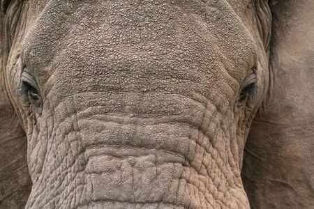Wild African Elephant in Ngorongoro Crater, Tanzania 版權商用圖片