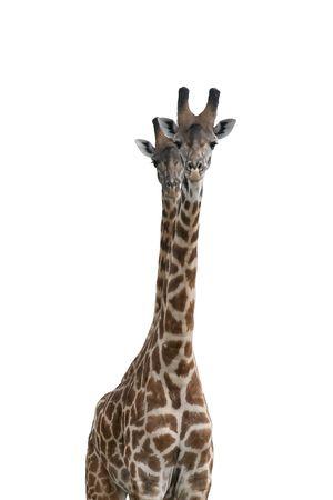 giraffe isolated on white background 版權商用圖片