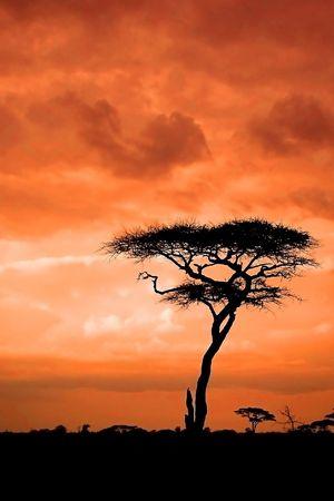 Atardecer africano con árbol de acacia Foto de archivo