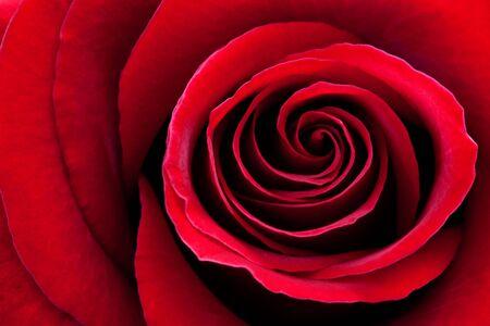 rose macro photo