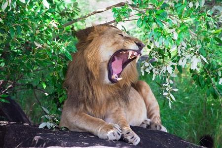 wild lion photo