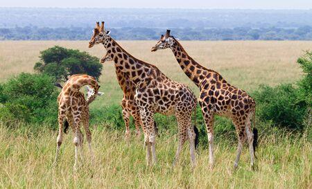 Giraffa camelopardalis rothschildi 版權商用圖片