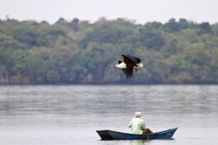 African fish eagle in Lake Mburo, Uganda photo