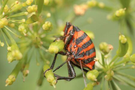 Graphosoma lineatum Фото со стока
