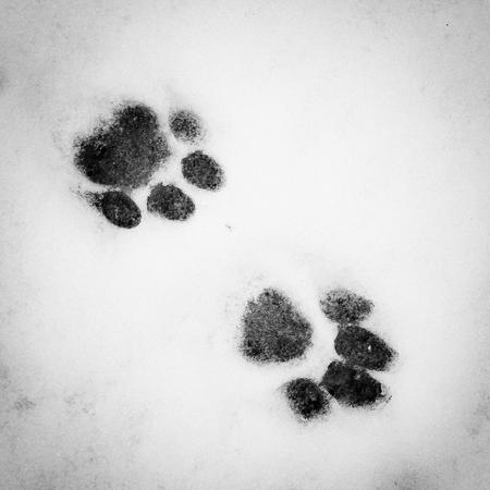 Cat tracks in the snow Фото со стока