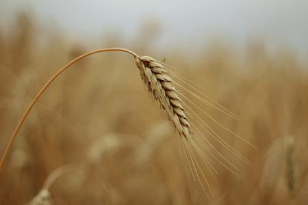 grain Фото со стока