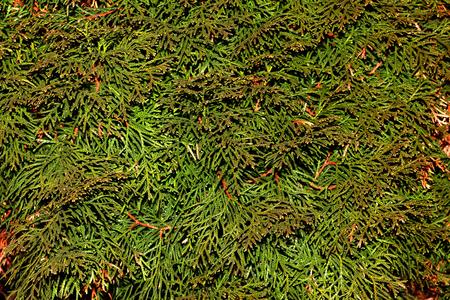 Coniferous texture 写真素材