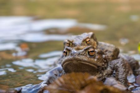 Common toad Фото со стока
