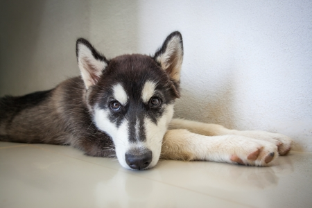 Siberian Huskies  photo