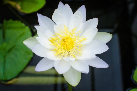 White lotus blossoms photo