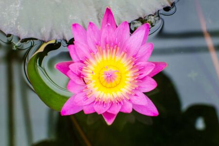 Pink lotus blossoms photo
