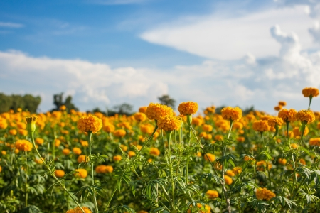 field of daisies: Marigold field Stock Photo