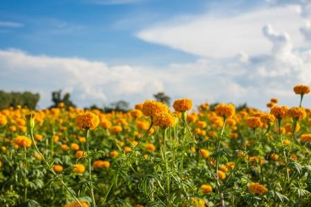 Marigold veld Stockfoto