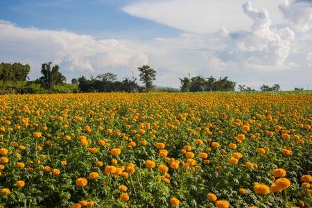 Marigold field Фото со стока
