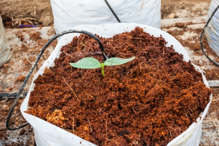 Green cucumber plant sowing on coco peat Фото со стока - 21918697