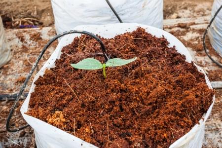 turba: Verde siembra de plantas de pepino en turba de coco