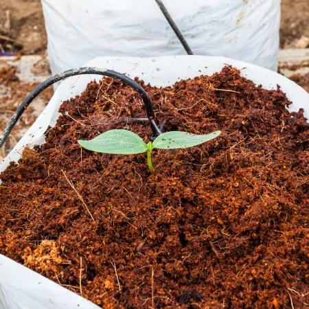 turf: Groene komkommer planten zaaien op kokos
