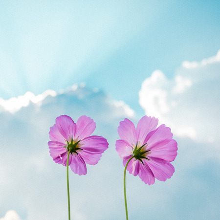 Cosmos flowers on sky and cloud photo