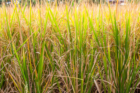crop margins: Rice is waiting for harvest Stock Photo