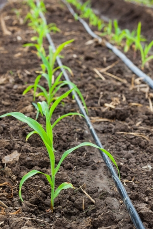 drip: Corn field growing with drip irrigation system