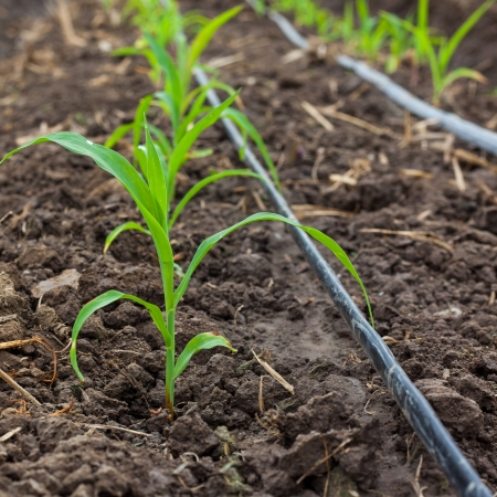 Corn field growing with drip irrigation system  photo