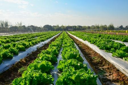 Creciente industria agrícola ensalada de lechuga en el campo Foto de archivo