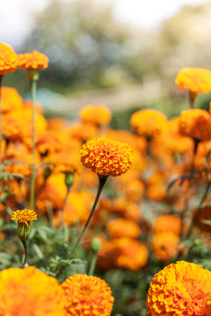 marigold flower and sunshine photo