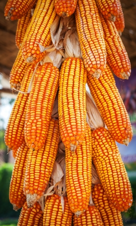 harvest background: group corn dry for harvest background texture Stock Photo