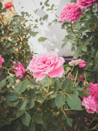 Pink roses bouquet for vintage photo