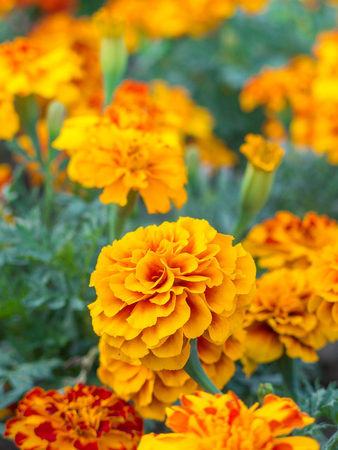 Yellow marigold flowers close up photo