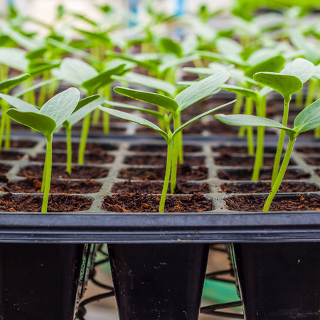 Green Cucumber seedling on tray close up