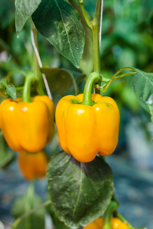 paprica: Yellow sweet pepper in greenhouse Stock Photo