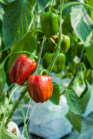 Red sweet peppers in greenhouse