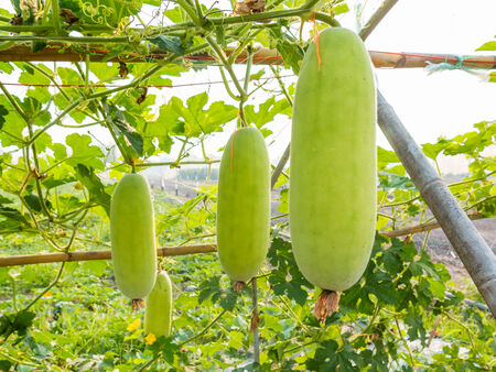 green wax gourd on field agricultural photo