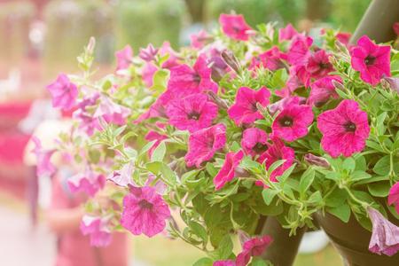 petunias: close up petunia plant in garden.