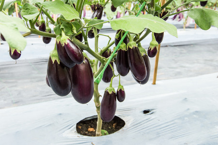 purple eggplant fruit on field agriculture Фото со стока