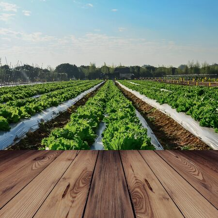 wood agricultural: Wood bridge and Agricultural industry. Growing salad lettuce on field