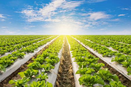 Groene sla op gebied agricuture met blauwe hemel Stockfoto
