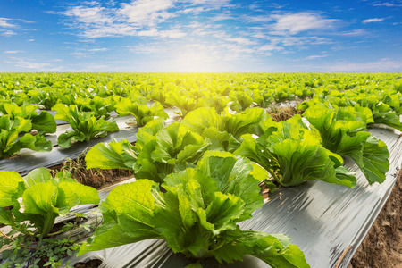 agriculture landscape: Green lettuce on field agricuture with blue sky Stock Photo